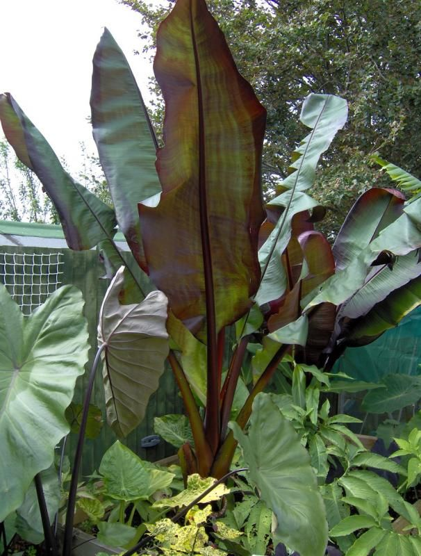 Photo: Abyssinian Banana 'Montbeliardii'