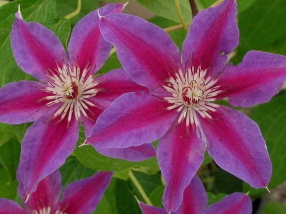 Photo: Clematis 'Fireworks'