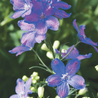 Photo: Delfix™ Blue Delphinium
