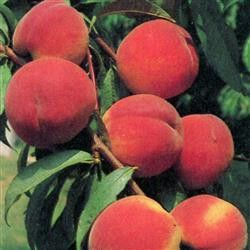 Photo: Peach 'Red Haven'