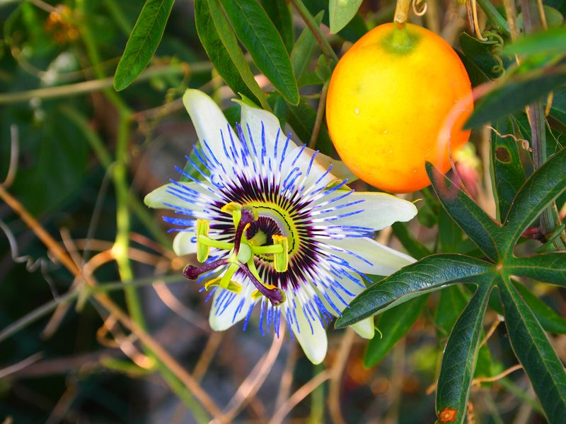 Photo: Passion flower 'Incense'