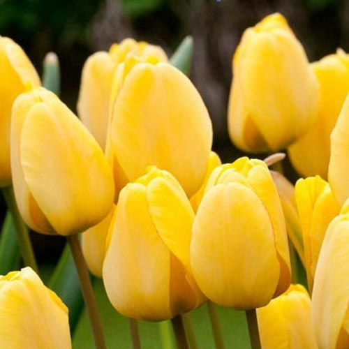Photo: Tulip 'Golden Apeldoorn'