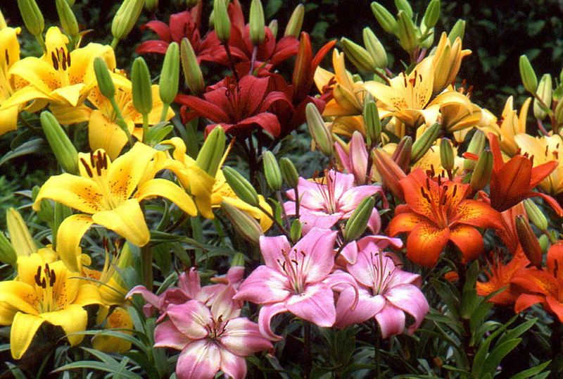 Photo: Asiatic Lily