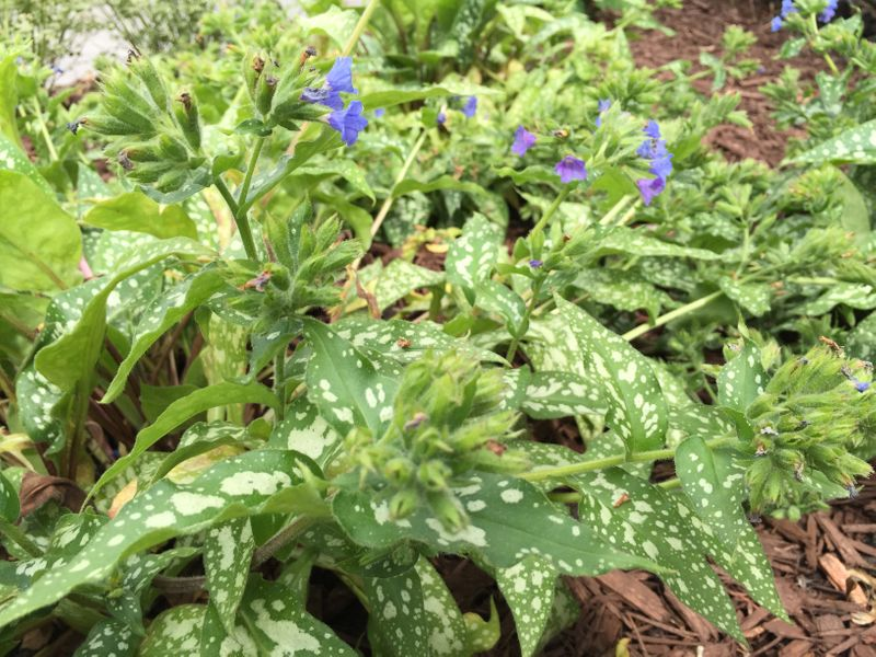 Photo: Lungwort 'Trevi Fountain'