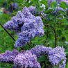 Photo: Syringa vulgaris 'Firmament'