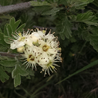 Photo: Tansy-leaved Thorn