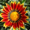 Photo: Gazania Mohawk Treasure Flower