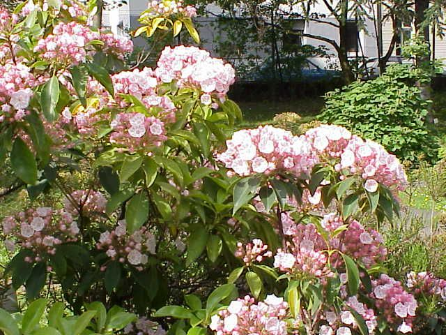 Photo: Mountain-laurel