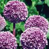 Photo: Allium 'Summer Drummer'