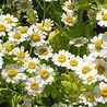 Photo: Feverfew